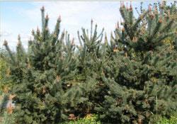 A karácsonyfa százmillió éve nem változott