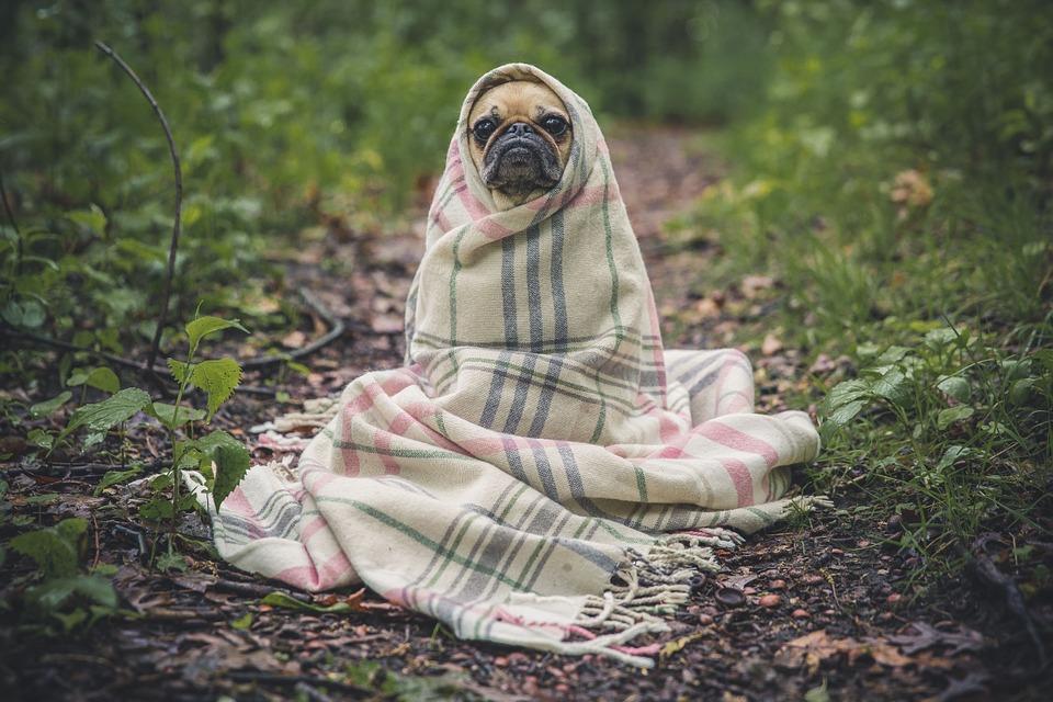 Megfázott kutya