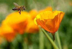 Sokan vannak, akik csípik a méheket