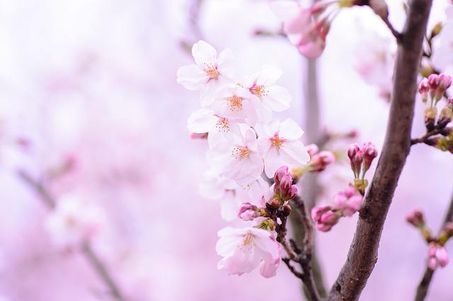 Mese a két cseresznyefáról