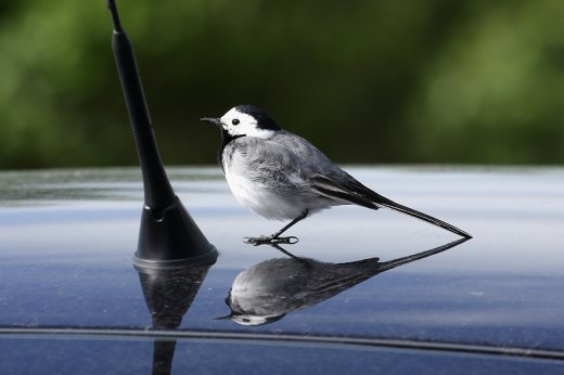 Rémszem véd a tükörharcos madártámadásoktól