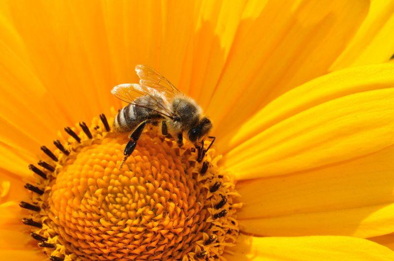 Az élethez nélkülözhetetlenek: az egyre fogyó méhek