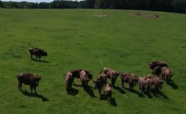 Ilyen, amikor költöznek az őrségi bölények (videó)